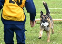 A German Shepherd dog runs off with a piece of cloth in its mouth during a test to become a sniffer dog at Aomori Prefectural Police Academy in the city of Aomori, northern Japan, on June 12, 2018. (Mainichi/Kaho Kitayama)