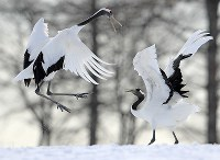 Two Japanese cranes dance in the snow in the village of Tsurui, the northernmost prefecture of Hokkaido, on Jan. 31, 2018. (Mainichi/Naotsune Umemura)