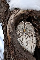 An Ural owl is seen in a hollowed out old tree in a park in Sapporo's Minami Ward in the northernmost prefecture of Hokkaido, on Jan. 6, 2018. (Mainichi/Naotsune Umemura)