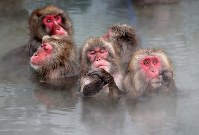 Japanese macaques enjoy a dip in a hot spring at Hakodate Tropical Botanical Garden in Hakodate, the northernmost prefecture of Hokkaido, on Dec. 1, 2018. (Mainichi/Taichi Kaizuka)