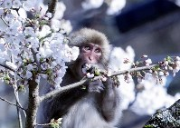 A monkey is seen snacking on cherry blossoms in Komagane, Nagano Prefecture, central Japan, on April 10, 2018. (Mainichi/Masanobu Yamaguchi)