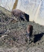 Two wild boars wander into an erosion and sediment control facility in Kitakyushu's Moji Ward, on Oct. 25, 2018. (Mainichi/Tomohiro Shimohara)