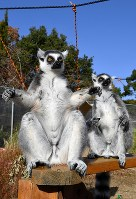 Two ring-tailed lemurs sunbathe with outstretched hands in the city of Inuyama, Aichi Prefecture, central Japan, on Nov. 29, 2018. (Mainichi/Takehiko Onishi)