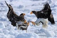 Two Steller's sea eagles fight on drift ice offshore of the town of Rausu in Hokkaido's Shiretoko Peninsula on Feb. 27, 2018. (Mainichi/Naotsune Umemura)