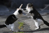 Cats fight over a feeding ground on Aoshima island, in the city of Ozu, Ehime Prefecture, western Japan, on Oct. 22, 2018. (Mainichi/Rei Kubo)