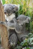 A koala called Botan clings to her mother Ume at Kobe Oji Zoo in Kobe's Nada Ward, on April 25, 2018. (Mainichi/Kazuki Ikeda)