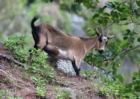 A wild goat that caused damage and deforestation is seen in Ogasawara, south of Tokyo, on April 17, 2018. (Mainichi/Yuki Miyatake)