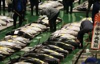 豊洲市場で初めて行われる初競りを前に、マグロを見て回る市場関係者ら=東京都江東区で2019年1月5日午前4時半、玉城達郎撮影