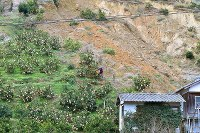 土砂崩れの跡が残る農園の斜面で、無事だったみかんの成育状況を確認する村井保夫さん=愛媛県宇和島市で2019年1月06日午前9時44分、山崎一輝撮影
