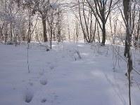 アファンの森にあったイノシシの足跡=C・W・ニコル・アファンの森財団提供