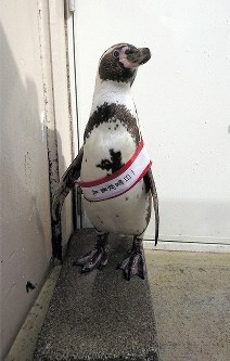 (Photo courtesy of Shimoda Aquarium)