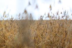米国ではゲノム編集大豆の商業栽培が始まっている(Bloomberg)