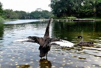 Black swans brought in by Huawei Technologies Co. CEO Ren Zhangfei rest their wings on the surface of a pond on the grounds of the company's headquarters, in Shenzhen, in China's southern Guangdong province, on Sept. 26, 2018. (Mainichi/Kiyohiro Akama)