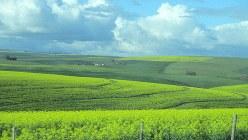 アフリカ最南端・アグラス岬に向かうオバーバーグ地方には、羊の牧場に菜の花畑が織り交ざる、美しい丘陵地が広がっていた(写真は筆者撮影)