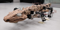 This undated photo provided by researchers in January 2019 shows the OroBOT, based on an Orobates Pabsti fossil. Scientists have used a nearly 300-million-year old skeleton and preserved ancient footprints to create the moving robot model of prehistoric life. (Tomislav Horvat, Kamilo Melo/EPFL Lausanne via AP)
