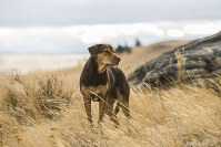 This image released by Sony Pictures shows Bella, portrayed by Shelby the dog, in a scene from Columbia Pictures'