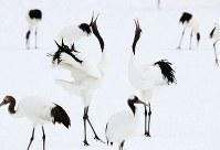 鳴きあうタンチョウのつがい=北海道鶴居村で2019年1月25日、貝塚太一撮影
