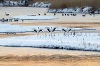 早朝にねぐらの中州に降り立ったタンチョウの親子=北海道鶴居村で2019年1月25日、貝塚太一撮影