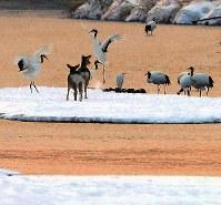 ねぐらの中州に移動してきたエゾシカの前で求愛ダンスをするタンチョウ=北海道鶴居村で2019年1月25日、貝塚太一撮影