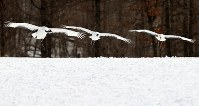 雪原に降りるタンチョウの親子=北海道鶴居村で2019年1月25日、貝塚太一撮影