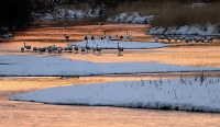 朝焼けに染まる川面のねぐらで動き始めるタンチョウ=北海道鶴居村で2019年1月25日、貝塚太一撮影