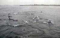 大阪湾を泳ぐイルカの群れ=大阪・南港沖1キロ付近で2019年1月31日午前9時ごろ、大阪海上保安監部提供