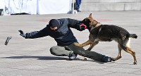 G20サミットに向けた合同訓練で、テロリスト役の男性にかみ付く刑事犬=大阪市住之江区で2019年2月5日、山崎一輝撮影