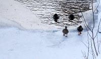 凍った川面の上を歩くカモ=札幌市中央区で2019年2月8日午後2時19分、貝塚太一撮影