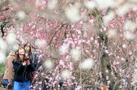 見ごろを迎えた梅の花=静岡県熱海市で2019年2月8日、宮武祐希撮影