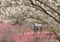 見ごろを迎えた梅の花=静岡県熱海市で2019年2月8日午後1時6分、宮武祐希撮影