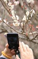 見ごろを迎えた梅の花を撮影する来園者=静岡県熱海市で2019年2月8日午後1時47分、宮武祐希撮影