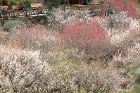見ごろを迎えた梅の花=静岡県熱海市で2019年2月8日午後1時27分、宮武祐希撮影