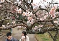 見ごろを迎えた梅の花=静岡県熱海市で2019年2月8日午後1時57分、宮武祐希撮影