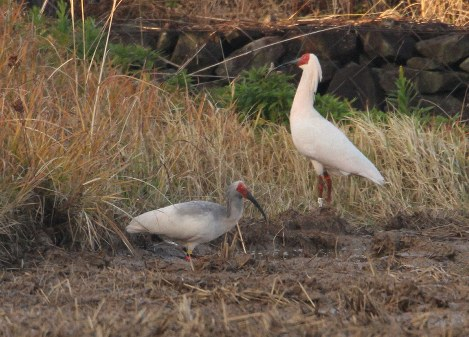 A pair of crested ibises is seen on Sado Island, Niigata Prefecture, in this file photo provided by the Environment Ministry.
