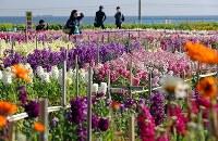 見頃を迎えた白間津の花畑=千葉県南房総市で、小川昌宏撮影
