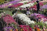 見頃を迎え、色とりどりの花を咲かせた白間津の花畑=千葉県南房総市で、小川昌宏撮影