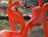 繁殖期を迎えたフラミンゴ。長い首を交差させる様子がハートのように見える瞬間も=神戸市灘区の市立王子動物園で、小松雄介撮影