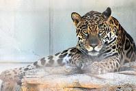 ジャガーの卯月佐助。ウッドデッキの下には遊び道具の木の枝がたくさん隠されている=とべ動物園提供
