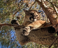 In this Feb. 16, 2019, courtesy of the California Department of Fish & Wildlife Crews shows a mountain lion in a tree outside a private residence in the City of Hesperia, Calif. (Rick Fischer/California Department of Fish & Wildlife via AP)