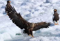 A white-tailed eagle, center, spreads its wings while Steller's sea eagles, right and left, rest on drift ice in Rausu, Hokkaido, on Feb. 27, 2018. (Mainichi/Naotsune Umemura)