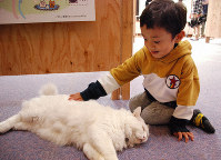 A child strokes the male cat Yuki at Myoken Onsen Nemu hotel in the city of Kirishima, Kagoshima Prefecture in southern Japan on Feb. 5, 2019. (Mainichi/In Tanaka)