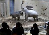 命名式でシュティン(右)とニャイン(左)と名付けられたアジアゾウの母子。ゾウ舎の先行内覧会来場者らがカメラを向けた=札幌市中央区の円山動物園で2019年2月24日、貝塚太一撮影