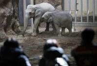 命名式でシュティン(左)とニャイン(右)と名付けられたアジアゾウの母子。母に甘える愛くるしい姿に来場者らがカメラを向ける=札幌市中央区の円山動物園で2019年2月24日、貝塚太一撮影
