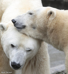 This Feb 18, 2019 photo from the Cincinnati Zoo shows two polar bears, from left
