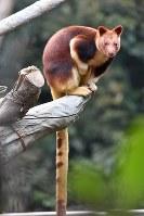 木の上で過ごすことが多いセスジキノボリカンガルー=よこはま動物園ズーラシア提供