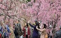 見ごろを迎えた城南宮のしだれ梅=京都市伏見区で、川平愛撮影