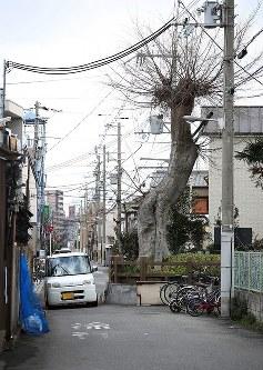 約5メートル幅の道路の半分を占める椋(むく)=大阪市東住吉区住道矢田8で、小出洋平撮影(画像の一部を加工しています)