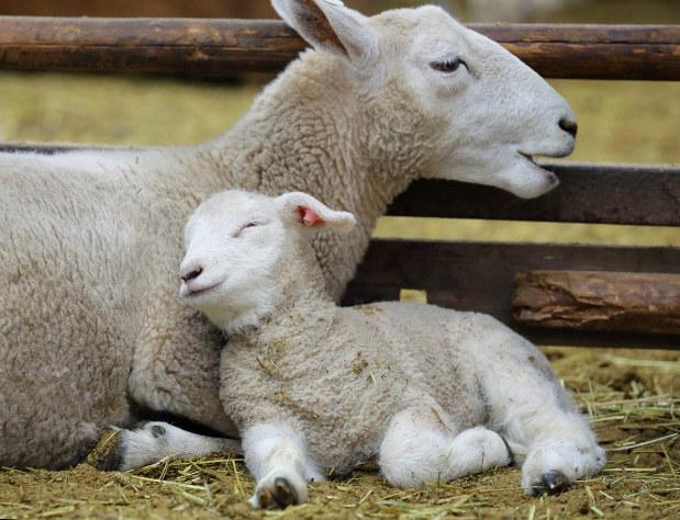 かわいいね 羊の赤ちゃん マザー牧場で出産ラッシュ - 毎日新聞