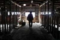 飯舘村長泥地区の復興拠点内にある牛舎を歩く男性(64)。父親が始めた酪農の施設を使って肉用牛の繁殖に転じ、稲作や花の栽培などにも携わってきた。「こっこ(子牛)は放し飼いにだったから、餌をあげようとすると後ろをついてきた。かわいかったなあ」。避難先の福島市で2013年から花の栽培だけ再開。自宅もその近くに再建したが、限られた土地での生産量は原発事故前の半分ほどという=福島県飯舘村で2019年2月27日、喜屋武真之介撮影
