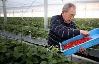 再建したビニールハウスで、朝日に包まれながらイチゴを収穫する佐藤信行さん。大病を患った長女にも娘が生まれ、孫の成長を報告しながら才子さんに語りかけている。「ずっと家族を見守っててくれ」=宮城県気仙沼市で2016年2月18日、小川昌宏撮影
